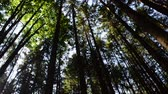trees : pine wood Stock Footage
