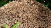 antílope : Ant hill and ants Stock Footage