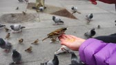vrabec : Spain. Birds on the streets of Madrid, pigeons and sparrows. Slow motion. People feed birds from hands.