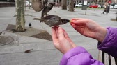 голубь : Spain. Birds on the streets of Madrid, pigeons and sparrows. Slow motion. People feed birds from hands.