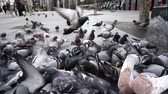 courageous : Spain. Birds on the streets of Madrid, pigeons and sparrows. Slow motion.