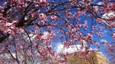 glides : The blossoming Oriental cherry in the spring. Stock Footage
