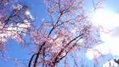 marchs financiers : The blossoming Oriental cherry in the spring. Stock Footage