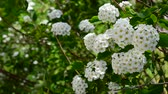 křoví : Spirea alpine spring flower - white flowering shrub