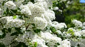 perfume : Spirea alpine spring flower - white flowering shrub