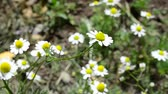 herbívoro : Camomile in the spring. Pharmaceutical camomile Stock Footage