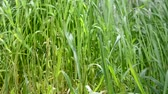 herbívoro : High grass in the field