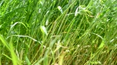 kimse : High grass in the field