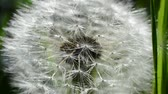 weed : Dandelions among a grass