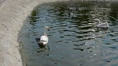 ripples : Swan in a pond
