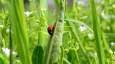 no people : Ladybug on a grass Stock Footage