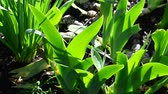 tulipany : Grass and leaves of tulips