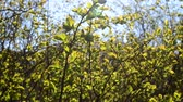 foco seletivo : Tree in the spring Stock Footage