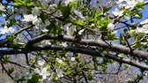 blossom : Fruit trees