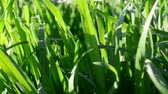 fodder : Grass in the spring