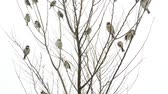 vrabec : Sparrows on a tree