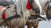 postroj : LVIV, UKRAINE - JULY 10, 2014: Horses in the city