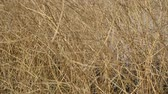 thorns : Dry bushes Stock Footage