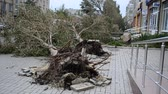 catastrophic : BERDYANSK, UKRAINE - OCTOBER 10, 2015: Roots of the fallen trees. After a hurricane.