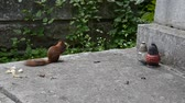 esquilo : Lviv, Ukraine. Lychakovsky cemetery. Squirrel on a grave. Stock Footage