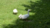 ornitoloji : Pack of geese. Walk in the yard.