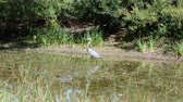heron : Japanese garden, heron. Shooting on Steadicam.