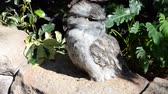 feathering : Tawny Frogmouth (Podargus strigoides). The owlet poses and allows to iron him. Ridiculous owlet. Tawny Frogmouth (Podargus strigoides). Stock Footage