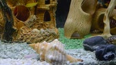 egzotizm : Lots of Lake Malawi Cichlids (Cichlidae) swimming in a tank. Stok Video