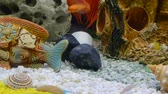 exotismo : Lots of Lake Malawi Cichlids (Cichlidae) swimming in a tank. Vídeos