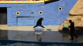 descontraído : ORLANDO, USA - MARCH 25, 2014: Show of seals. Seals participate in show. SeaWorld is a parks of mammals, oceanariums and animals. California Sea Lion (Zalophus californianus)