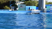 orques : ORLANDO, USA - MARCH 25, 2014: To killer whale in park. Commersons Dolphin (Cephalorhynchus commersonii).
