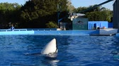 кит : ORLANDO, USA - MARCH 25, 2014: To killer whale in park. Commersons Dolphin (Cephalorhynchus commersonii).