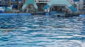 orques : ORLANDO, USA - MARCH 25, 2014: Training of killer whales in the pool. Commersons Dolphin.