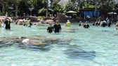 tursiops : ORLANDO, USA - MARCH 25, 2014: Bathing with dolphins in the artificial lake. Discovery Cove, Orlando, USA. Stock Footage