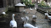 catolicismo : Geese in Barcelona, ??Spain