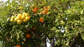 cytrusy : Orange tree in Spain Wideo
