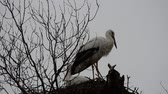 özveri : Storks on a tree. Madrid, Spain Stok Video