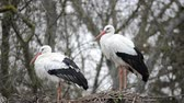 pecker : Storks on a tree. Madrid, Spain Stock Footage
