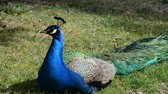 wildebeest : Peacock on a grass. Stock Footage
