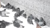 falling snow : winter pigeons