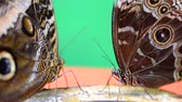 iridescente : Shooting of tropical butterflies.