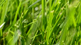 waterdrop : Fresh grass with dew drops close up Stock Footage