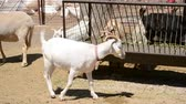 szarvak : Pets on a farm. Goats.