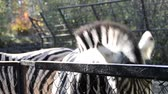 proužek : Zebra in a zoo.