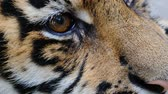 predatório : Shooting of an eye of a tiger.