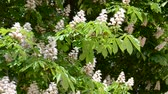 castaña : Chestnut flowers in the spring.