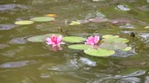 小花 : beautiful pink water lily (lotus)