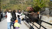 boynuzlu : Animal a yak. Shooting in a zoo.