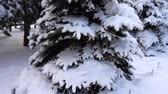 wintertime : Fir-tree under snow in the winter. Stock Footage
