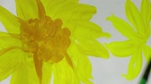 desenhado : Draw sunflowers. Time lapse. Stock Footage